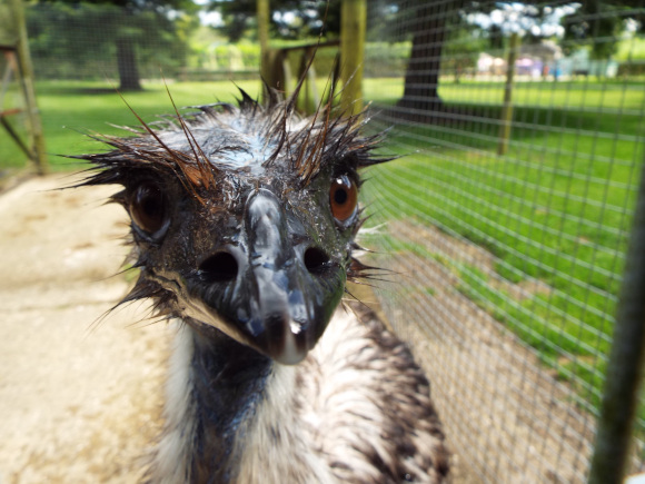 Rescued emu becomes a father