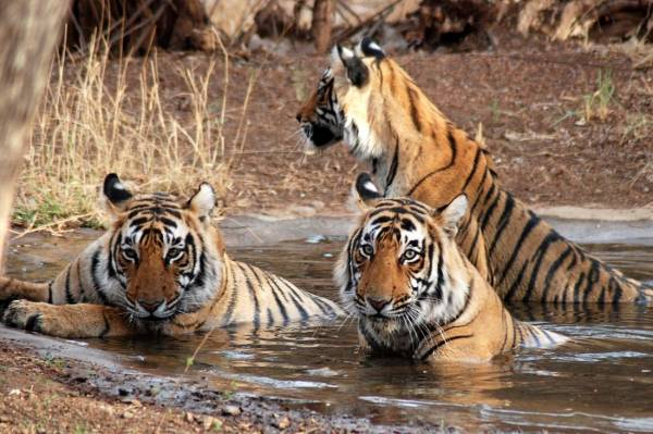 Experience Wildlife Safari with India Tiger Tours